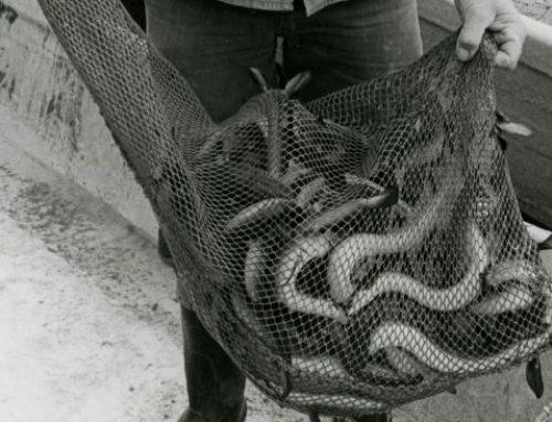 Aale im Neusiedler See ausgesetzt